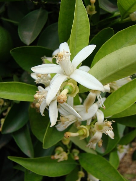 Citrus fleurs