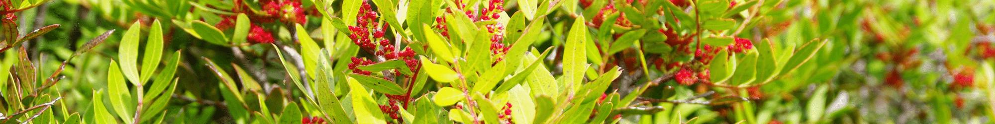 Lenstique pistachier